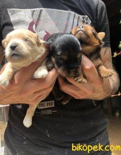 Şirin Sevimli Yorkshire Terrier Yavrularımız 3
