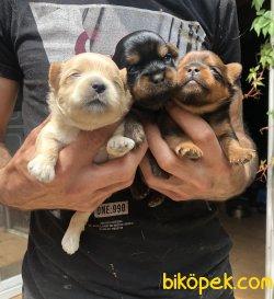 Şirin Sevimli Yorkshire Terrier Yavrularımız 2