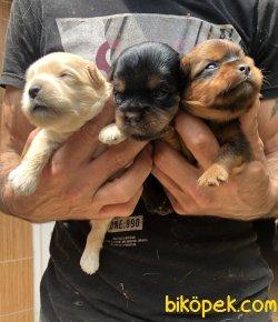 Şirin Sevimli Yorkshire Terrier Yavrularımız 4