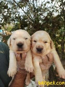 Şirin Yüzlü Golden Retriever Yavrular