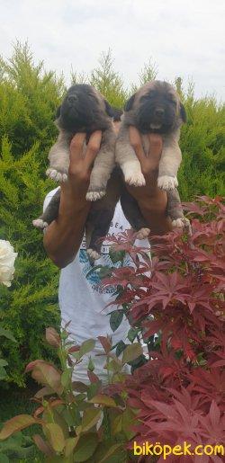 Sivas Kangal Muhteşem Yavrularım