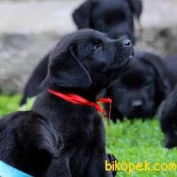 Siyah Böğürtlenler 3
