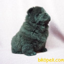 Siyah Çin Aslanı Yavrusu 5