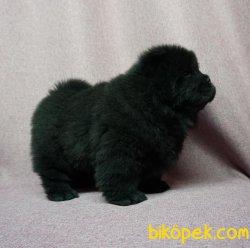 Siyah Çin Aslanı Yavrusu 4