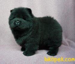 Siyah Çin Aslanı Yavrusu 3