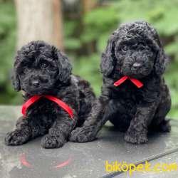 Siyah Inci Black Toy Poodle Yavrularımız 3