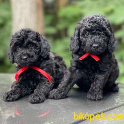 Siyah Inci Black Toy Poodle Yavrularımız 2