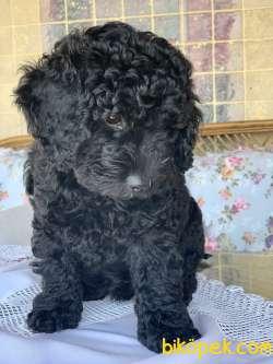 Siyah İnci Minyatür Poodle