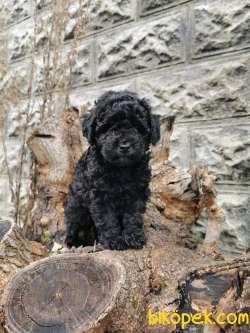 Siyah İnci Toy Poodle