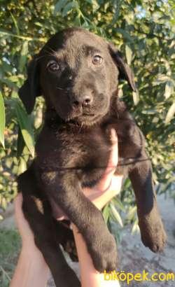 Siyah Irk Ve Sağlık Garantili Labrador Yavrular
