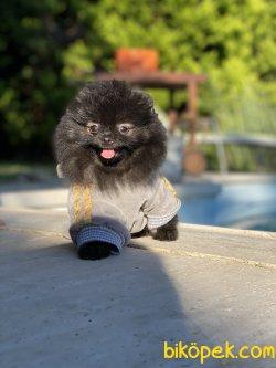 Siyah Nadir Renk Teddy Bear Pomeranian Boo