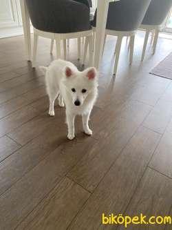Spitz Cinsi 7 Aylık Beyaz Erkek Köpek.