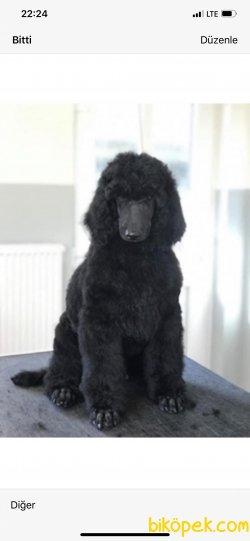 Standart Dev Poodle Yavrularımız Secereli 3