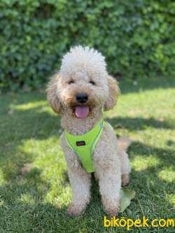 Standart Poodle Akilli Barney