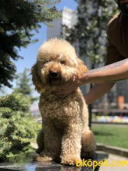 Standart Poodle Barney 4