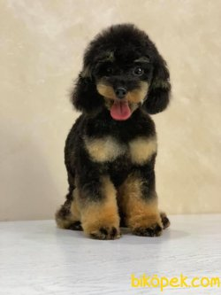 T Cup Black And Tan 12 Aylık 2 Kg Poodle