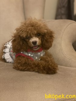 T Cup Dark Red Toy Poodle Ve Black Tan Poodle