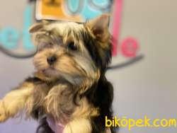 Tea Cup Yorkshire Terrier Yavrularımız 2