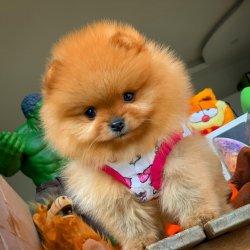 Teacup Teddy Bear Face Pomeranian Yavrularımız