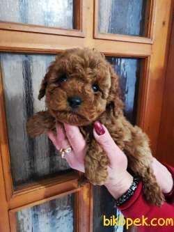 Teacup Ve Toy Poodle Red Brown Yavrular