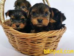 Teacup Yorkshire Terrier Yavrularmız