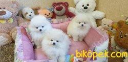 Teddy Bear Pomeranian Ayı Surat Secereli 3
