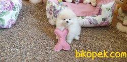 Teddy Bear Pomeranian Ayı Surat Secereli 2