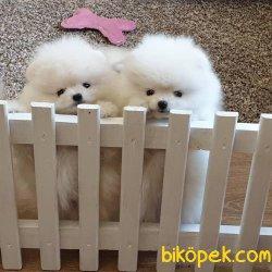 Teddy Bear Pomeranian Ayı Surat Secereli 1