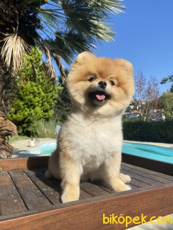 TEddy  Bear Pomeranian Boo