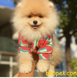 Teddy Bear Pomeranian Boo Ayı Surat Tattolu Irk Belgeli