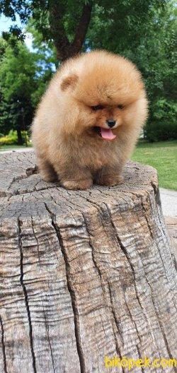 Teddy Bear Pomeranian Boo Orjinal Ayı Surat Köpeklerimiz 1