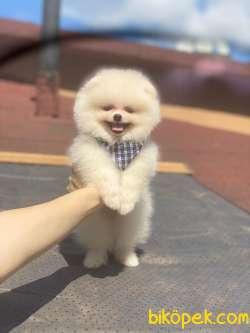 Teddy Bear Pomeranian Boo Yavrumuz 3