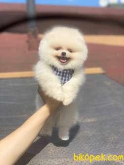Teddy Bear Pomeranian Boo Yavrumuz 1