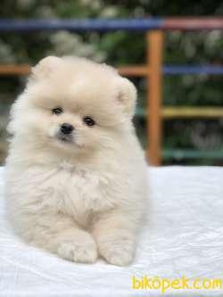 Teddy Bear Surat Pomeranian Boo Yavrumuz Irk Ve Saglık Garantili 3