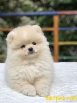 Teddy Bear Surat Pomeranian Boo Yavrumuz Irk Ve Saglık Garantili
