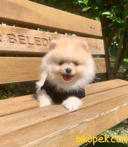 Teddy Face Gülen Surat Boo Pomeranian Yavrular