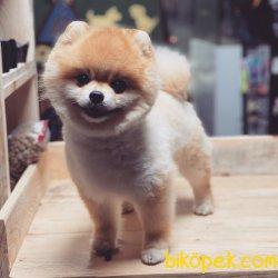 Teddy Suratlı Pomeranian Boo Ayı Kafa Köpeklerimiz