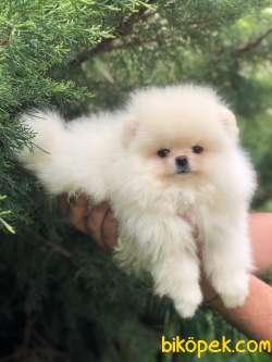 Teddybear Pomeranian BOO Yavrumuz 1
