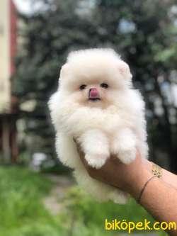 Teddybear Pomeranian BOO Yavrumuz 4