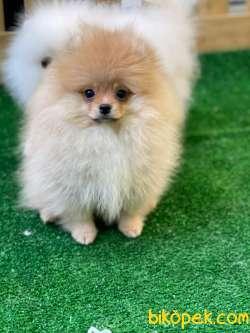 Minik Teddybear Pomeranianboo