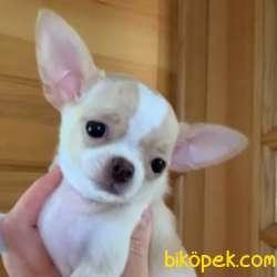 Teleskop Pet Garantisiyle Chihuahua Yavruları 2
