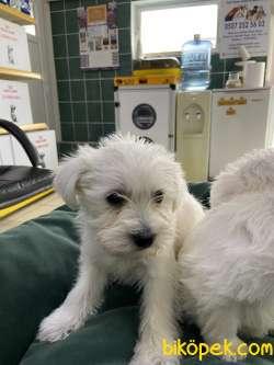 Terrier Maltese 5