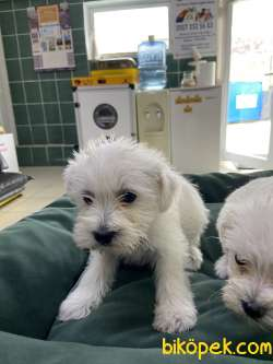 Terrier Maltese 2