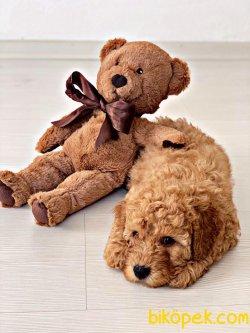 Teslime Hazır Irk Ve Sağlık Garantili Red Toy Poodle Yavrular