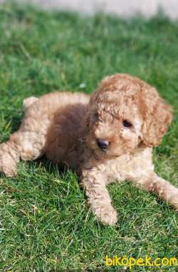 Toy-Poodle 1