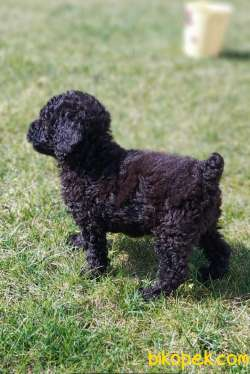 Toy-Poodle 2