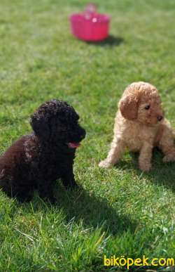 Toy-Poodle 5