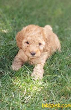 Toy-Poodle 3
