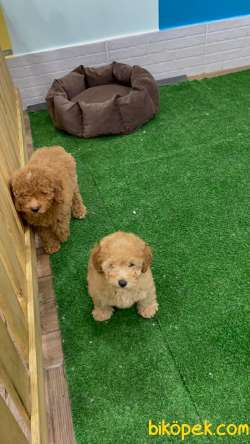 Toy Poodle 4