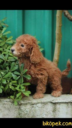 Toy Poodle 'Akkuş Üretim Çiftliği'